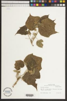 Image of Sterculia setigera