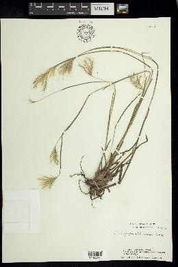 Andropogon liebmannii image
