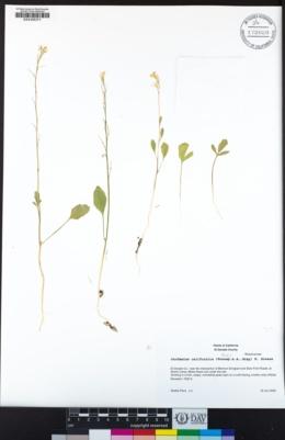 Cardamine californica image