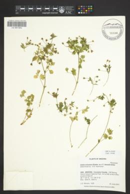 Ivesia arizonica image