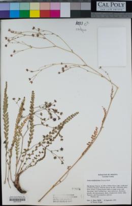Ivesia multifoliolata image