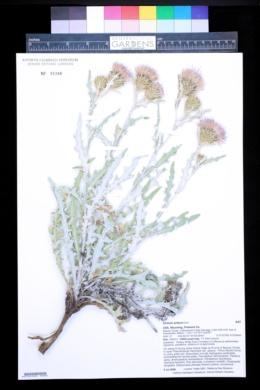 Image of Cirsium aridum