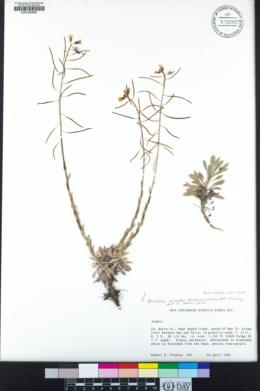 Boechera arcuata image