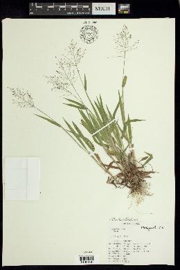Dichanthelium ovale subsp. praecocius image