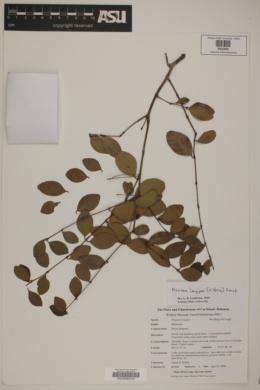 Psidium longipes var. longipes image