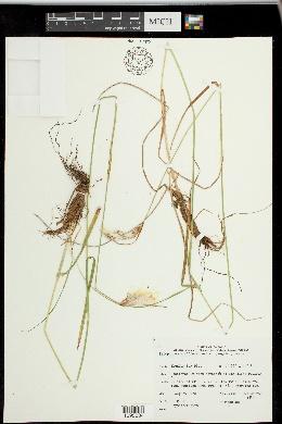 Eriophorum viridicarinatum image