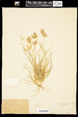 Image of Eleusine tristachya