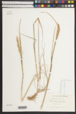 Image of Elymus agropyroides