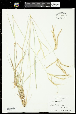 Chloris canterae image