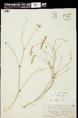 Lotus rigidus image