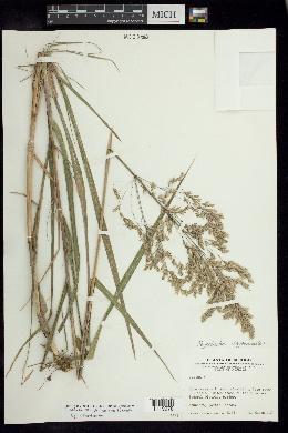 Image of Peyritschia deyeuxioides