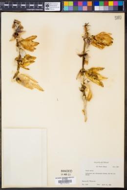Image of Yucca torreyi