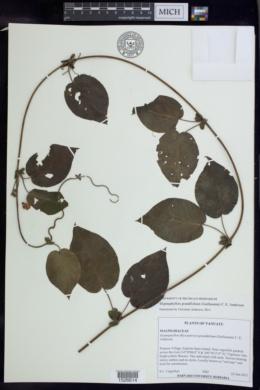 Image of Stigmaphyllon grandifolium
