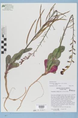 Streptanthus cordatus var. cordatus image