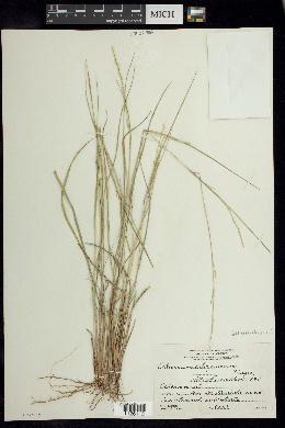 Image of Setaria chapmanii