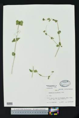 Mirabilis californica var. villosa image