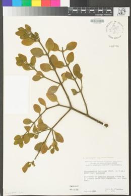 Phoradendron leucarpum subsp. tomentosum image