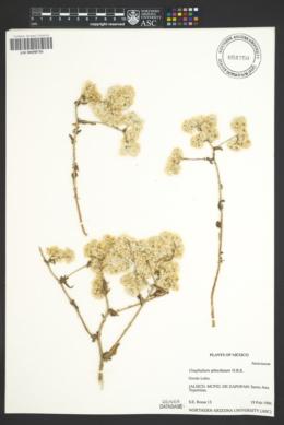 Image of Gnaphalium sphacilatum