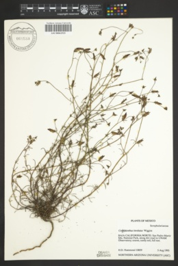 Image of Cordylanthus involutus