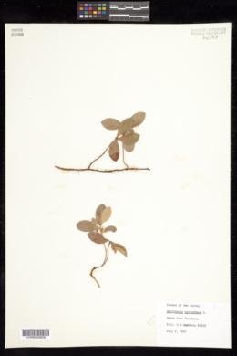 Gaultheria procumbens image