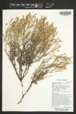 Eriogonum wrightii var. wrightii image