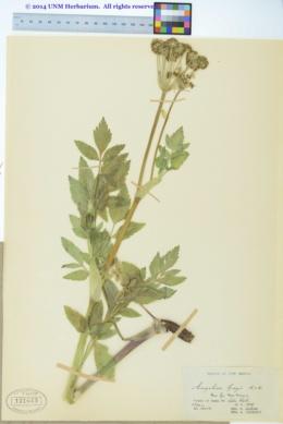 Angelica grayi image