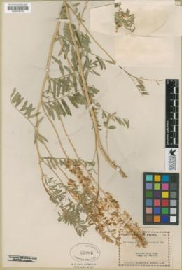 Astragalus bisulcatus var. haydenianus image