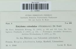 Entyloma calendulae image