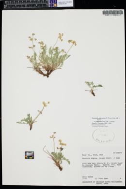 Lomatium graveolens image