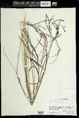 Image of Paspalum lentiginosum