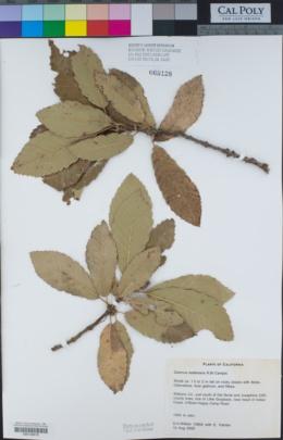 Quercus sadleriana image