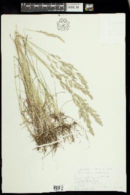 Poa arida image