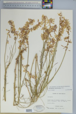 Astragalus lonchocarpus image