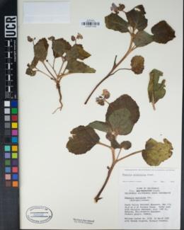 Image of Phacelia mustelina