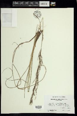 Muhlenbergia breviligula image