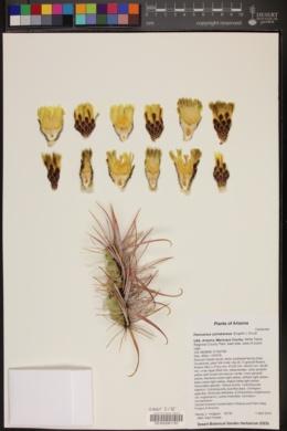 Ferocactus acanthodes image