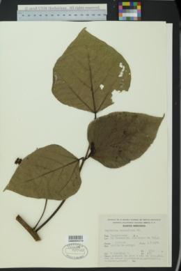 Image of Erythrina breviflora