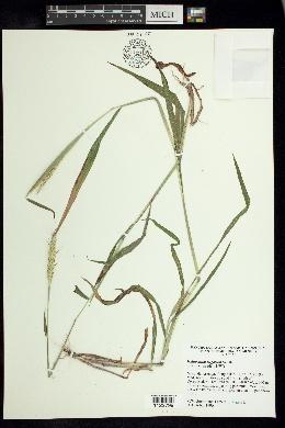 Image of Ischaemum rugosum