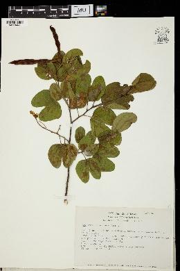 Image of Bauhinia seleriana