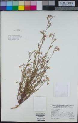 Clarkia modesta image
