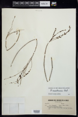 Image of Phyllanthus maestrensis