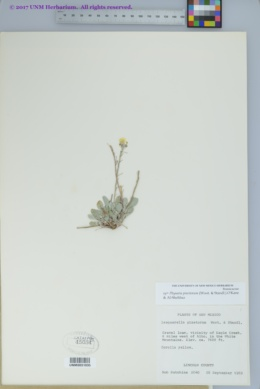 Physaria pinetorum image