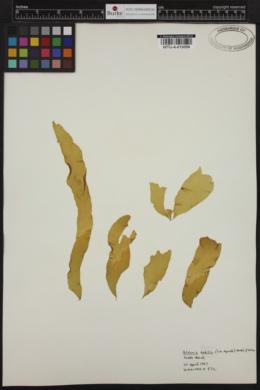 Petalonia fascia image