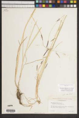 Pleuropogon californicus var. davyi image