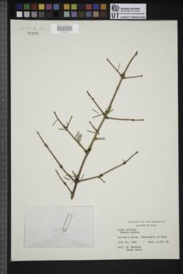 Image of Picea koyamae