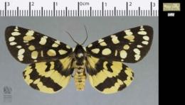 Platyprepia virginalis image