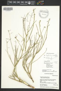 Euphorbia eriantha image