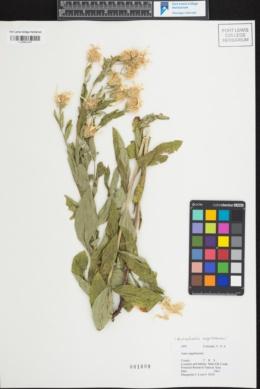 Image of Eucephalus engelmannii