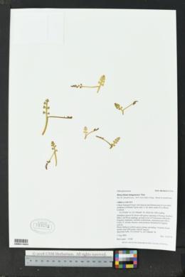 Botrychium minganense image