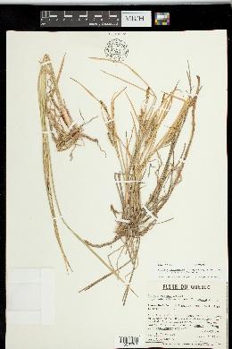 Image of Carex x subpaleacea